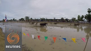 Thai buffalos trade ploughing for racing