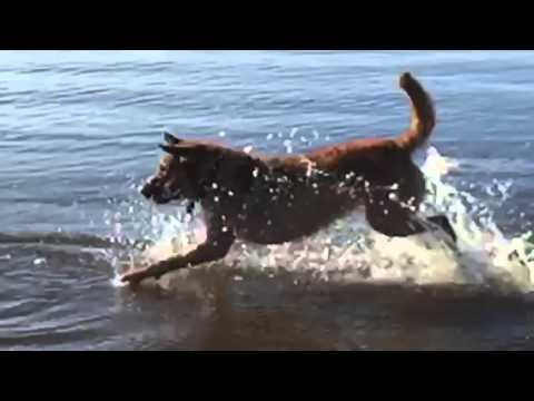 FREEDOM THE CHESAPEAKE BAY RETRIEVER SWIMS AND RETRIEVES HIS BALL IN SLOW MOTION