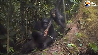 Chimp Mom Teaches Her Kid To Use A Tool
