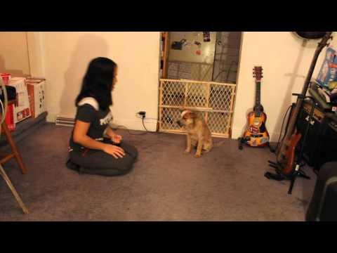 13 Weeks Red Heeler Puppy doing tricks