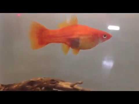 Pregnant swordtail - YouTube
