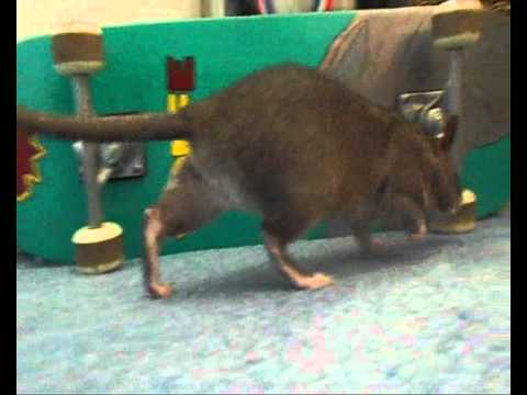 Thistle - The Gambian Pouched Rat