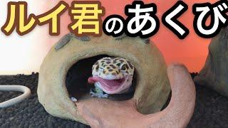 レオパのあくび【スローモーション有】 thumbnail