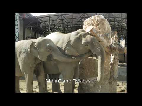 Scientific Research: Observations on Elephants in Zoos  td
