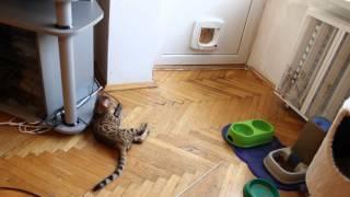 питомник бенгальских кошек, бенгальские котята,cattery bengal cats,bengal kitten