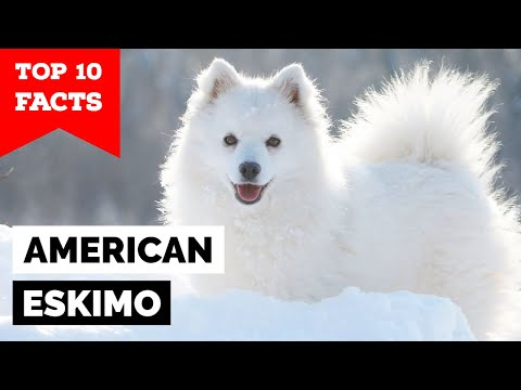 American Eskimo  Top 10 Facts