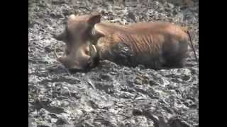 Video The Warthog...life/habitat download MP3, 3GP, MP4, WEBM, AVI, FLV Juni 2018