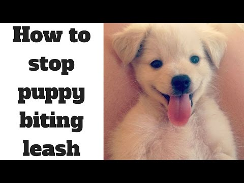how-to-stop-puppy-biting-leash