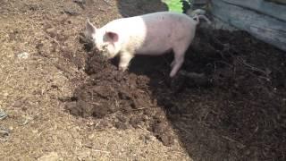 Свинка Пеппа в реальной жизни... ;) Peppa Pig