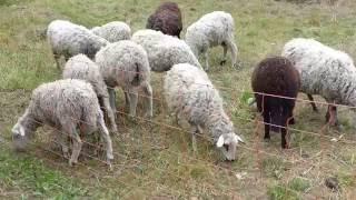 Les Moutons vidéo : Léa Ciari