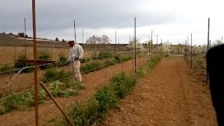 Zapętlaj Как выращивают виноград №2 Греция   Oleg Ratov