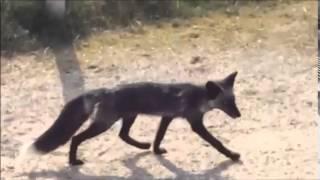 In Bloemendaal loopt een zwarte vos rond