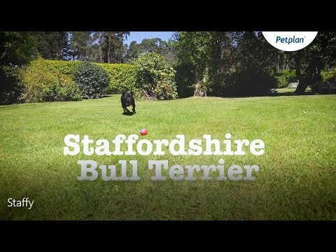Staffordshire bull terrier information: Temperament, Lifespan & More | Petplan