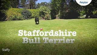Staffordshire bull terrier information: Temperament, Lifespan & More | Petplan