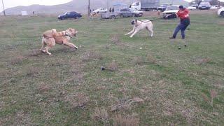 Чемпионат Дагестана - ОБЗОР молодых собак!