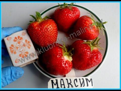 Клубника в Беларуси. Сорт  МАКСИМ с высочайшей урожайностью.