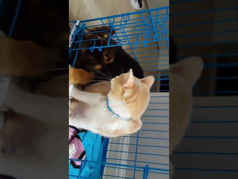 "German Shepherd Puppy and Cat ""Bonding"""