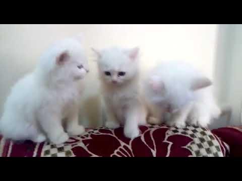 White Persian Kittens For Sale || Heavy Fur Persian Kittens || Blue eyes  kittens for sale