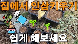 화분에서 인삼재배 하는방법 새싹삼 산양삼 장뇌삼 - g…