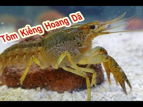 Thử Nuôi Tôm Kiểng Hoang Dã Của Mỹ ( American Wild Crayfish )