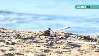 Renaturalització de les platges a Calafell