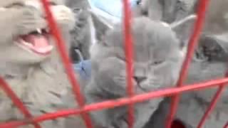 Питомник шотландских и британских котят Ивацевичи-Барановичи c ушным клещом