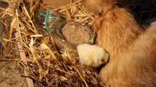Wykluł się kurczaczek! A baby chick has hatched!