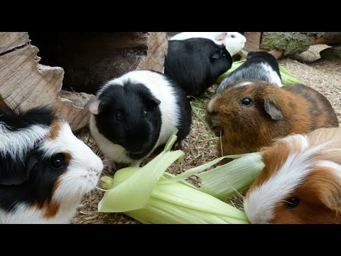 If Guinea Pigs Could Talk | What They Would Say
