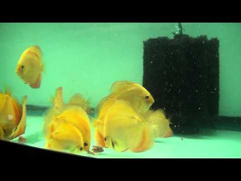 Discus Fish Feeding Tip
