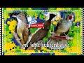 Masteran Kapas Tembak Cililin Jenggot  In  Masteran Masteranmuraibatu Cililin Cucakjenggot  Mp3 - Mp4 Download