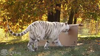 Big Cats Like Big Boxes - Box enrichment at Turpentine Creek Wildlife Refuge