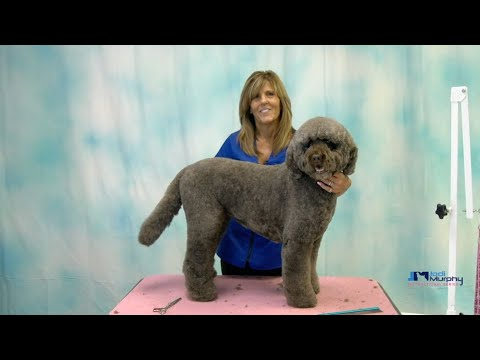 Learn How to Groom a Labradoodle Dog with Curly Coat