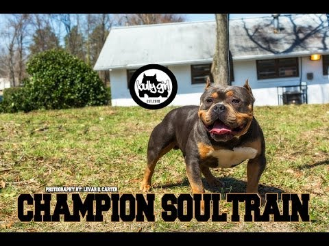 American Bully Show - RKC Southern Classic 3 - Greensboro, NC