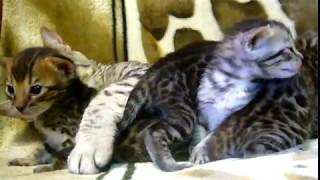 котята 3-х недельные