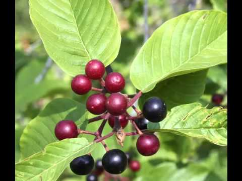 cascara sagrada herb benefits - youtube, Skeleton