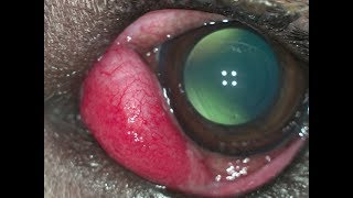 Пролапс слёзной железы (выпадение слёзной железы)