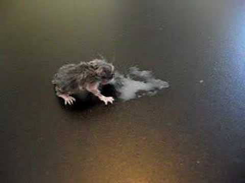 Baby field mouse eating on his own, finally, Animal ...