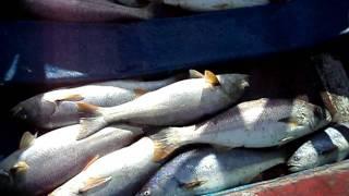 dia de pesca de la corvina