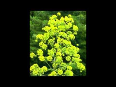 Ферула джунгарская – целебные свойства