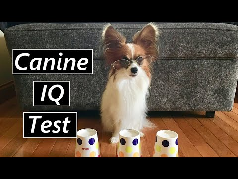 Percy the Papillon Takes a Canine IQ Test