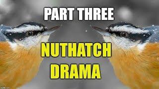 Nuthatch Drama Part 3