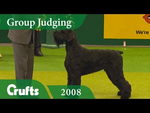 Giant Schnauzer wins the Working Group Judging at Crufts 2008 | Crufts Classics