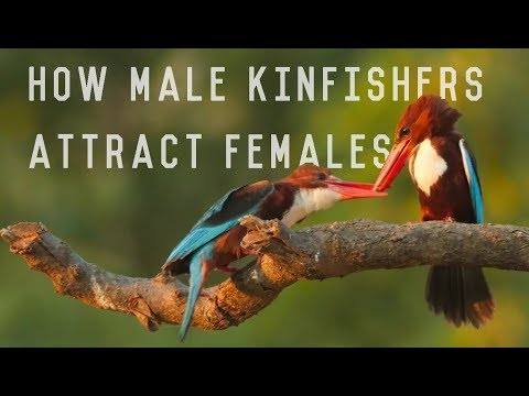 White Throated Kingfisher Aka White Breasted Kingfisher - Lovely Courtship Rituals