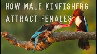 The Love life of White Throated Kingfisher / White Breasted Kingfisher The remarkable story of White Throated kingfisher's (aka white breasted kingfisher) love life.