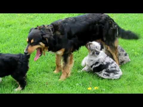 Miniature Australian Shepherd Puppies For Sale