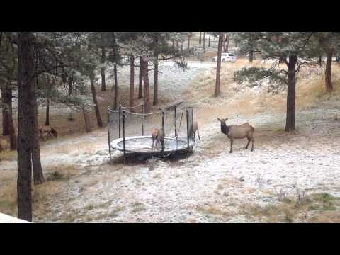 Elk Playing On Trampoline Is Serious Nature Gone Wild Fun (VIDEO)