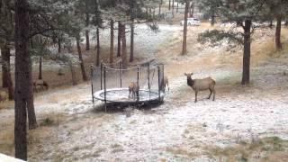 Elk on our Trampoline