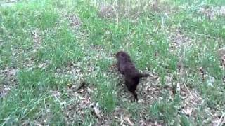 English Cocker Spaniel Omaha Nebraska -- Dublem Gundogs - Bucky Working In Trees.mp4