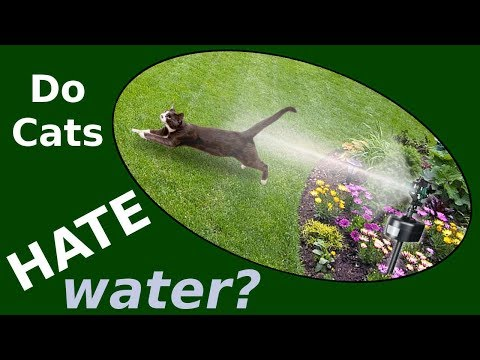 Why Do Cats Hate Water? Can You Give a Cat a Bath?