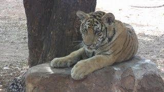 Tiger Temple, Kanchanaburi, Thailand / Świątynia Tygrysa, Kanchanaburi, Tajlandia